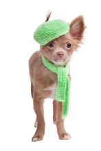 French Looking Chihuahua Puppy With Green Beret And Scarf