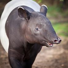Malayan Tapir, Also Called Asi...