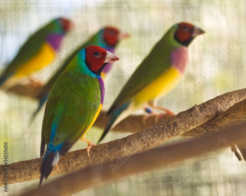 Photographie Australian gouldian finch native birds of Australia