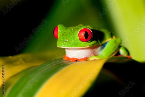 Tuinposter Kikker Red-eyed Treefrog