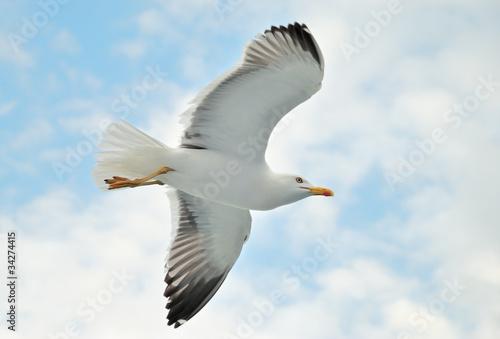 Fotografija  A seagull soaring in a blue sky