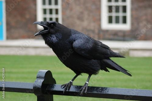 corvo della torre di Londra