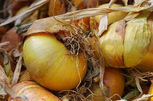 Photo oignons,légumes,alimentation,potager,récolte