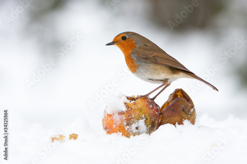 Photo  Christmas Robin Redbreast with Apples in Winter Snow