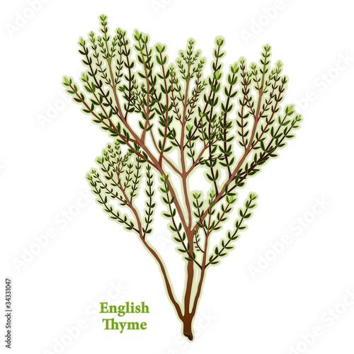Fotografie, Obraz  English Thyme Herb