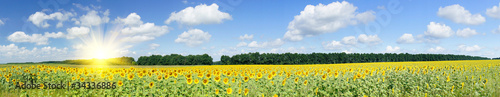 In de dag Weide, Moeras Plantation of golden sunflowers.