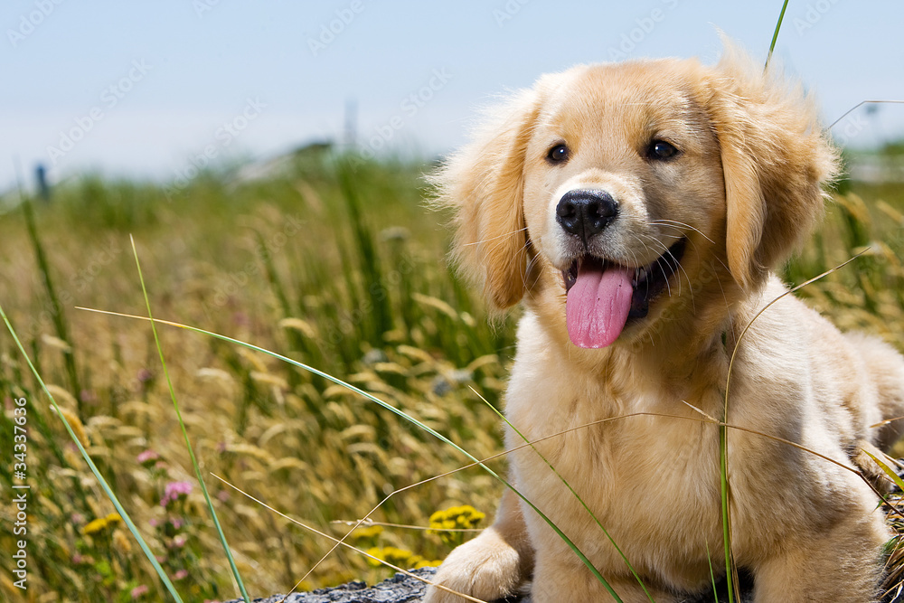 Fototapety, obrazy: Golden Retriever Puppy with tongue hanging out.