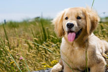 Golden Retriever Puppy With To...
