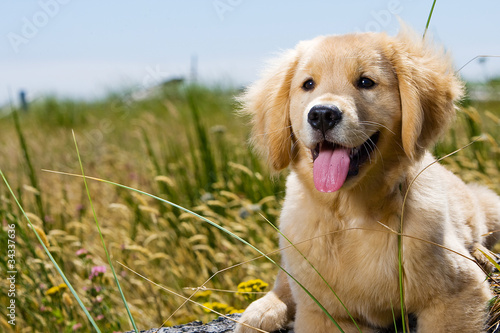 Fotografie, Obraz  Golden Retriever Puppy with tongue hanging out.