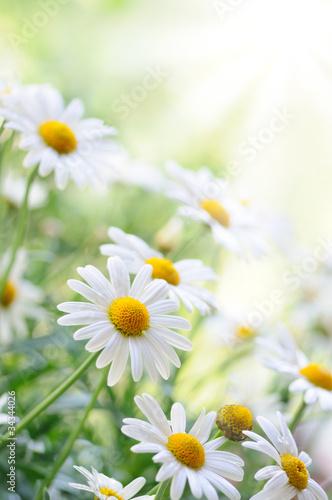 In de dag Bloemen daisy