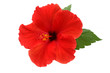canvas print picture - a red hibiscus flower isolated on white background