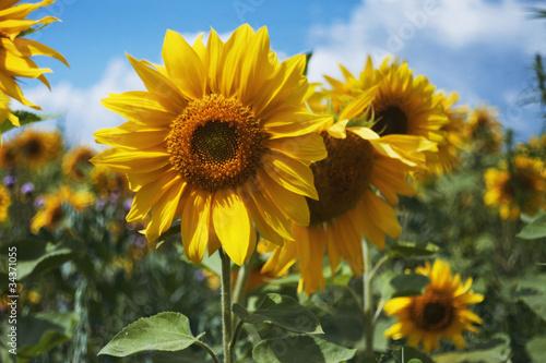 Fotobehang Bloemen Sunflowers