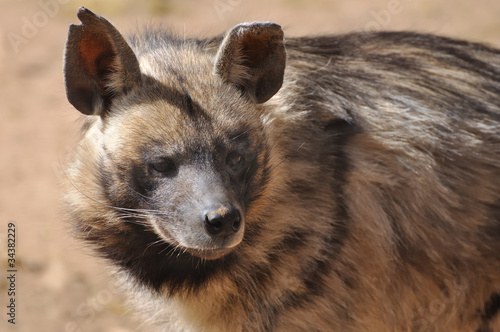 Photo sur Toile Hyène hyène rayée
