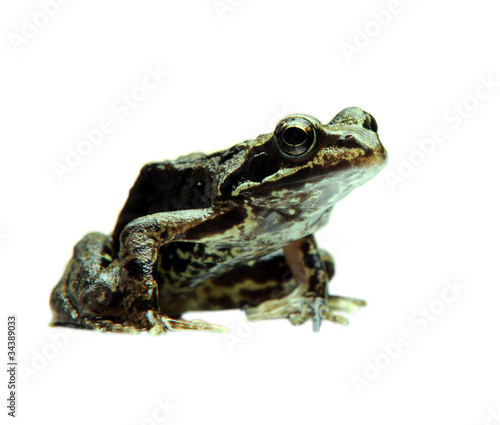 Door stickers Frog Curious frog isolated on white