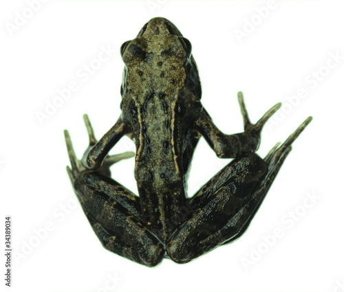 Door stickers Frog Common frog isolated on white from above