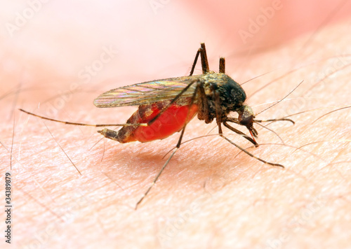 Photo Anopheles mosquito - dangerous vehicle of infection.