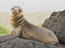 Young Sea Lion Looking At Camera