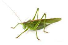 Grünes Heupferd (Tettigonia V...