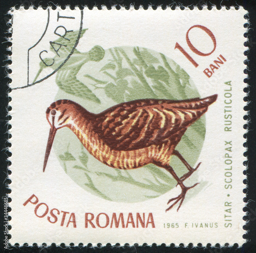 Fotografia, Obraz  Eurasian woodcock