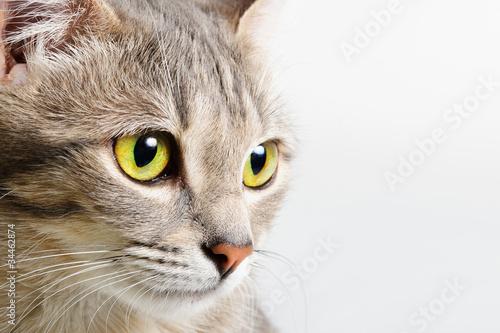 Fotografia head cat close up