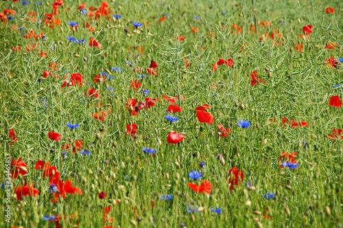 Sommerfeld mit roten und blauen Blumen<br>@ p(AS)ob