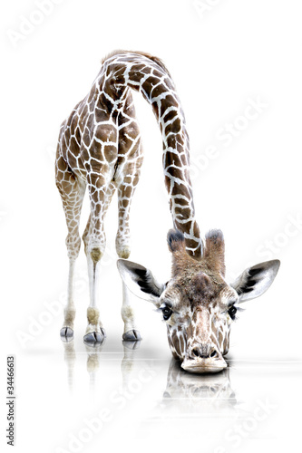 Fotoposter Giraffe Schlapp