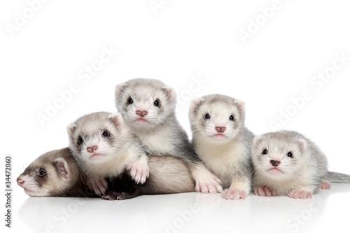 Valokuva Small Ferrets, posing on a white background