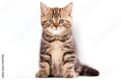Naklejki koty   brytyjska-figlarka-na-bialym-tle