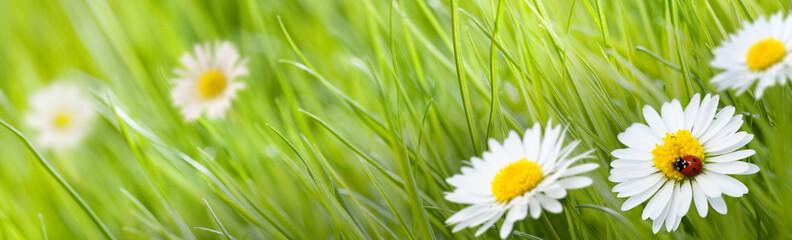 Panel Szklany Skandynawski fleur pâquerette et herbe verte avec une coccinelle et un pré
