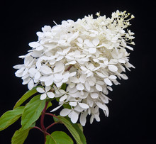 White Flowering Hydrangea Paniculata Phantom Plant