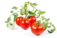 Harvest Tomatoes, Green Stalk