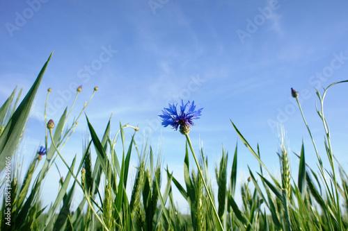 Fototapeta łąka z chabrami  2 obraz