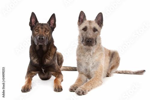 two Belgian shepherd dogs © Erik Lam