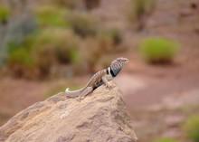 Great Basin Collared Lizard, Crotaphytus Bicinctores