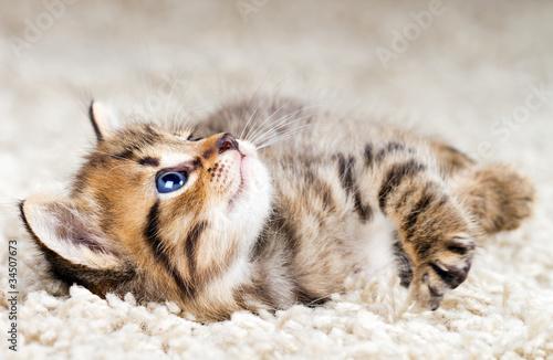 Śmieszne kotek w dywan