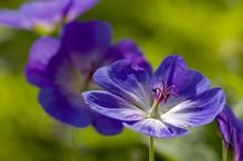 Blue And Purple Wild Geranium
