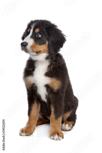 Poster de jardin Vache Bernese Mountain Dog