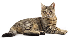 Striped Purebred Cat