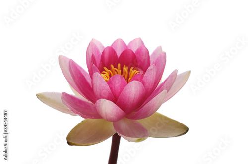 Poster de jardin Nénuphars Blossom pink lotus flower head