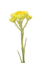 Helichrysum Arenarium Also Kno...