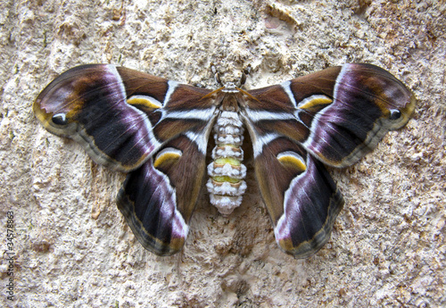 Fotografie, Obraz  Mariposa de seda nocturna Samia ricini (Asia)