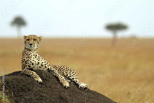 Fotografie, Obraz  Cheetah on the Masai Mara in Southwestern Kenya