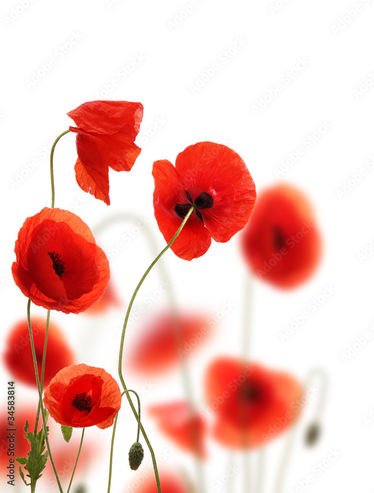 Poppy flowers field, isolated on white background