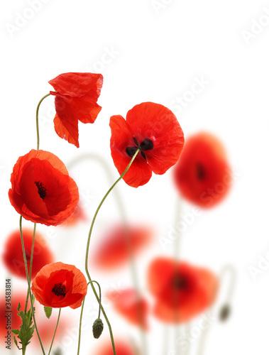 Cadres-photo bureau Poppy Poppy flowers field, isolated on white background