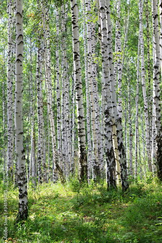 Spoed Fotobehang Berkbosje summer green birch forest