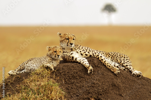 Fotografie, Obraz  Cheetahs on the Masai Mara in Southwestern Kenya