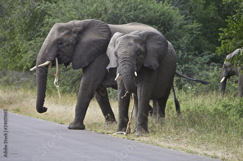 Photo Stands Elephant African Elephant's