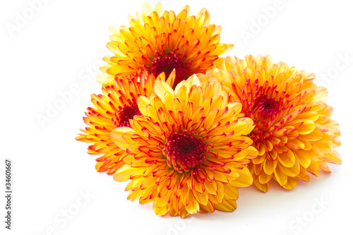 Orange Chrysantheme Fototapete