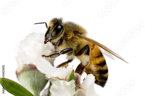 Photo Bee, Apis mellifera on Australian Tea-tree flower