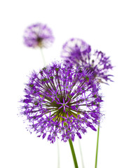 Panel Szklany Podświetlane Kwiaty Beautiful Allium Fliwers / abstract on white